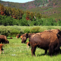 grazing-buffalo