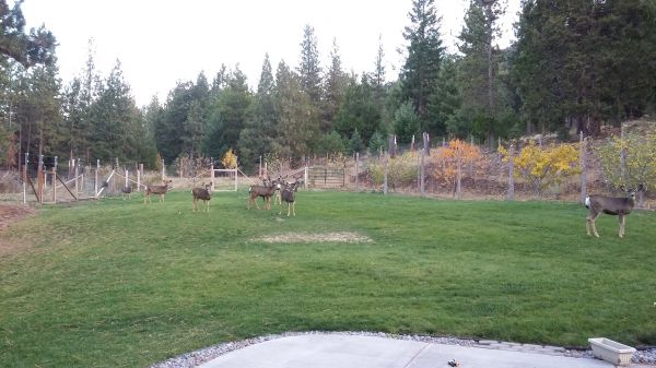 oregon_mule_deer