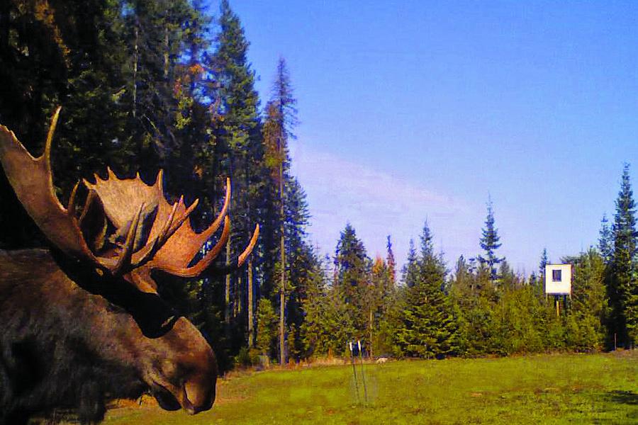 washington_moose_trailcam